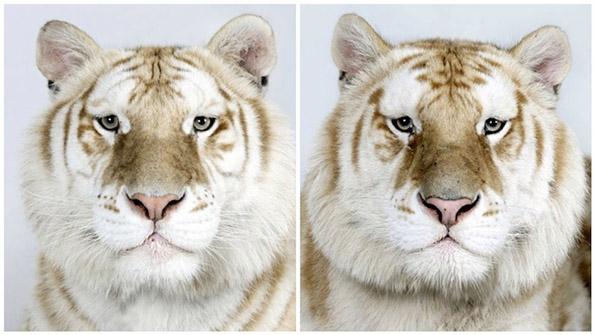 Одблизу со ретките опасни бенгалски тигри