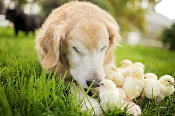 Неодоливи фотографии од златен ретривер кој се гушка со пилиња