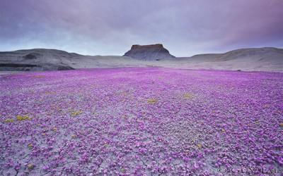 Кога условите се совршени, оваа пустина ја преплавуваат безброј разнобојни цвеќиња