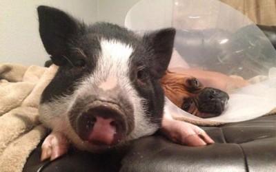 Запознајте ја Вирџинија, прасето кое мисли дека е куче