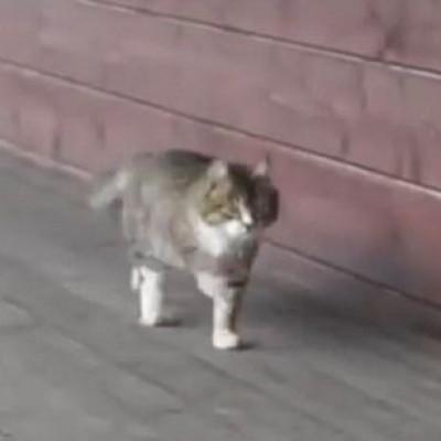 Мачката која оди како коњ за изложба
