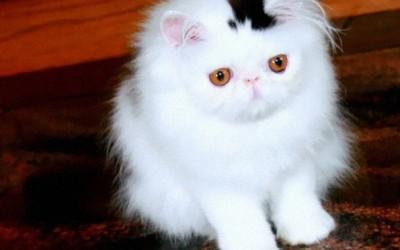 10 мачки кои се познати по своите необични крзна