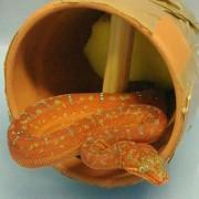 Змија во глинена саксија