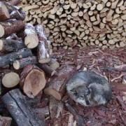 Куче се стуткува над струготини од дрво покрај куп од исечени дрва. Електраната е приморана да гори дрва кога немаат јаглен поради нередовна испорака на јагленот.
