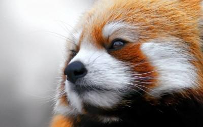 Црвената панда без сомнение е најслаткото животно на светот