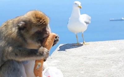Мајмунска работа: Погледнете како еден човек останал без својот доручек