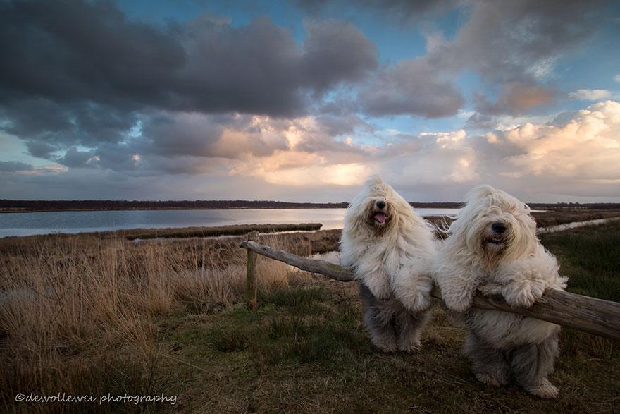 Овчарски кучиња кои обожаваат да позираат пред фотоапаратот на нивниот сопственик