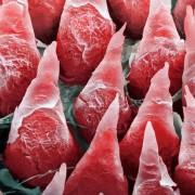 Површината на човечкиот јазик ставена под микроскоп