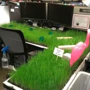 Засадете трева во вашата канцеларија