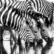 Жедни зебри пијат вода од вирче, Боцвана
