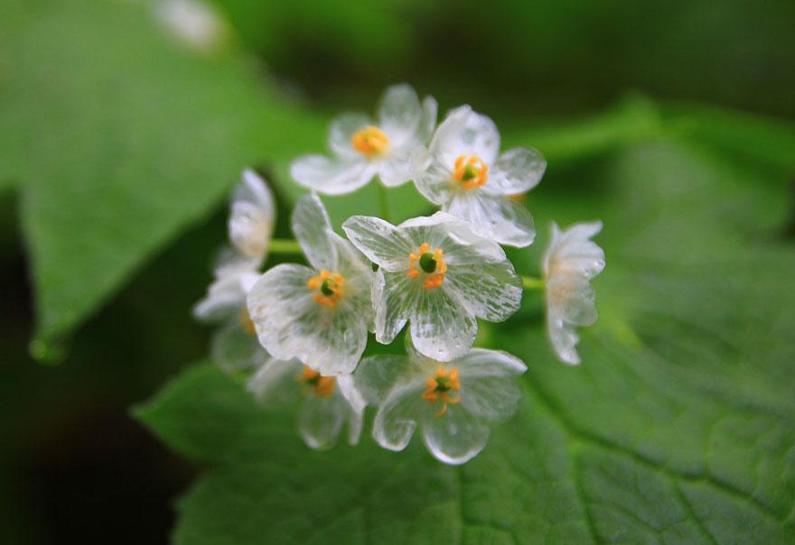 (1) Цвеќиња кои стануваат проѕирни секогаш кога ќе заврне дожд