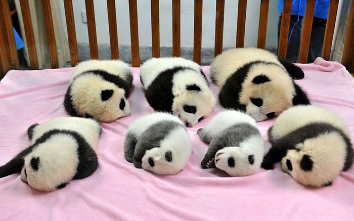 (1) Градинка за панди: Најслаткото место на планетата Земја