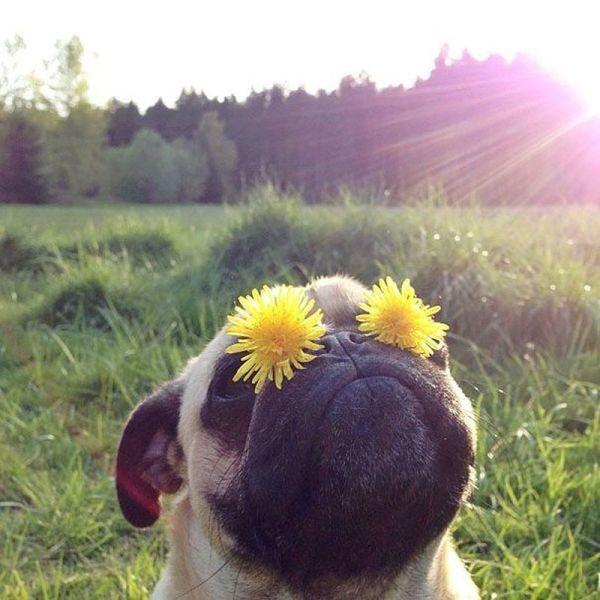 (14) 19 причини зошто мопсовите се најголемите експерти за летен живот