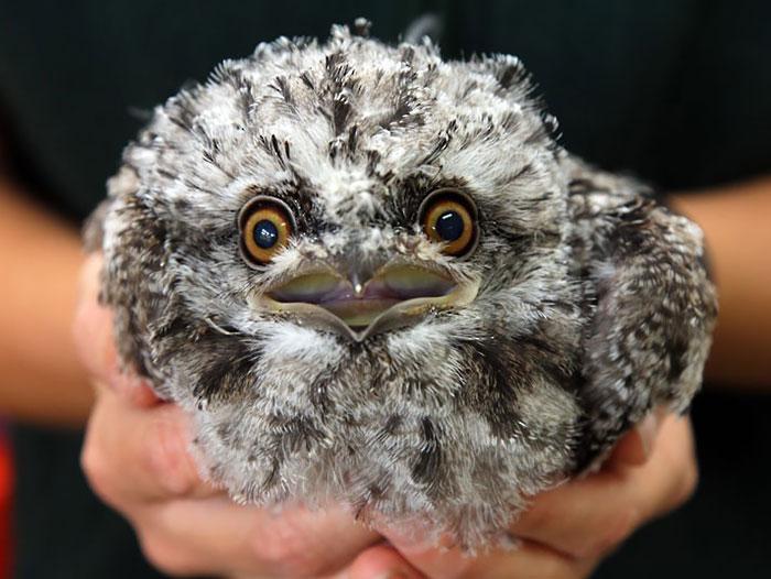 (0) Темен жабоуст: Најслатката птица во светот која неверојатно многу наликува на був