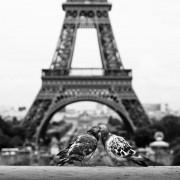 Дури и гулабите чувствуваат дека се во градот на љубовта