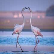 Прекрасни фламингоси