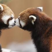 Бакнежот на црвените панди