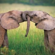 Слоновска љубов