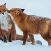 Вљубени лисици