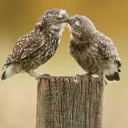 Бувови кои се бакнуваат