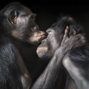 Два мајмуни уживаат во интимниот момент