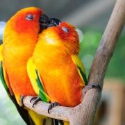 Пар папагали