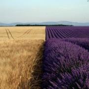 Пченица наспроти лаванда