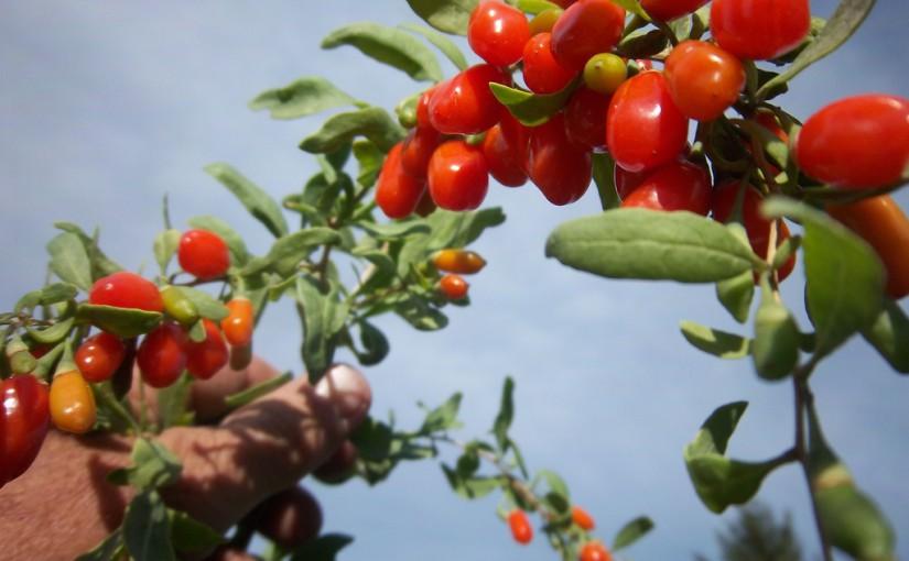 Најефикасен природен лек: Гоџи бобинки за еластична и здрава кожа