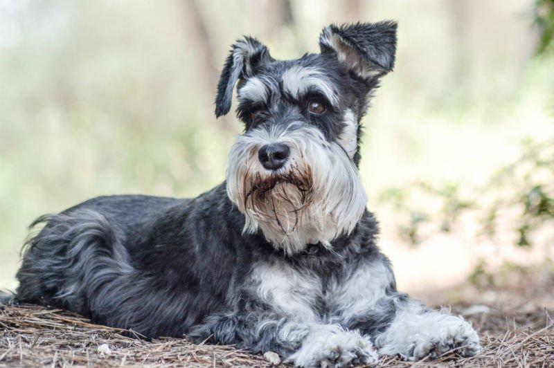 Крзнени рекордери: 10-те раси на кучиња кои живеат најдолго