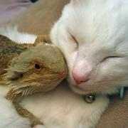 Мачка и брадест змеј ги рушат бариерите на расите со тоа што стануваат најдобри пријатели