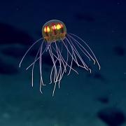 Откриена е нова медуза која изгледа како вонземјанин