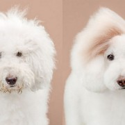 Неверојатно слатки фотографии од кучиња пред и по шишање