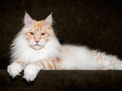 Неверојатни митски суштества: Достоинствената убавина на мејн кун мачките уловена на фотографии