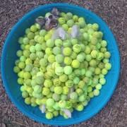 Не постои ништо посреќно од куче што лежи во базен со тениски топчиња