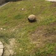 Разиграна панда ужива да се тркала по меката трева