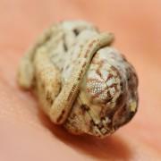 Прекрасни фотографии: Бебе камелеон не знае дека излегло од јајцето