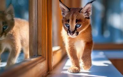 Запознајте се со каракалите: Најслаткиот вид мачки што некогаш сте го виделе!