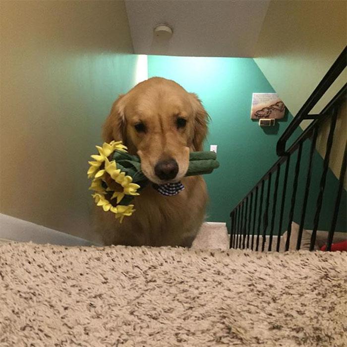 Запознајте го Мохито, куче која секоја ноќ носи различни играчки во кревет