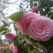 Јапонско цвеќе...