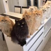 Како да натерате 12 мачки да гледаат во фотоапарат? Покажете им ја нивната омилена играчка!