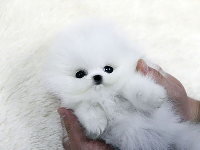 Најслатките кучиња што некогаш сте ги виделе: Нема да знаете дали е куче или мече!