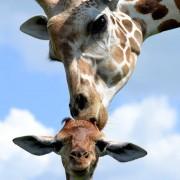 Секој знае дека бакнежите на мајката се најнежни