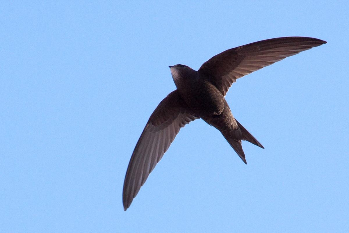 Научниците откриле птица која може да лета речиси една година без прекин