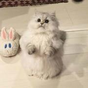 На мачката не ѝ се допаѓаат баш овие папучи
