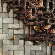 Корените на стеблото се движат врз поплоченото место