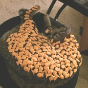 Сте се запрашале некогаш колку крекери можете да наредите на вашата мачка додека спие?