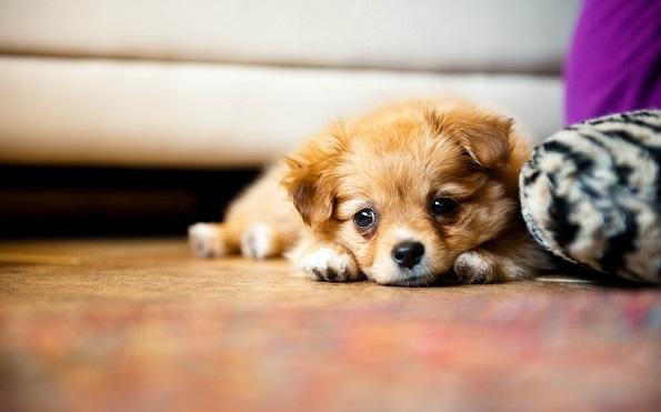 8 работи што ќе ви се случат откако ќе почнете да чувате кученце