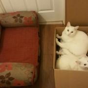 Картонската кутија секогаш ќе биде поудобна од скапиот кревет за мачки