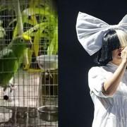 """Неверојатно папагалче ја пее песната """"Chandelier"""" од Сиа"""