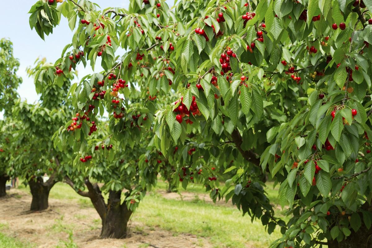 Поучна приказна: Берачи на цреши